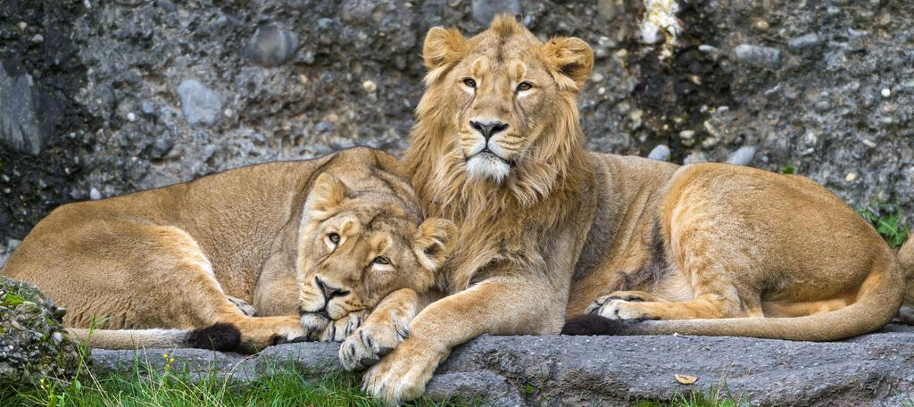 Two lions in a jungle