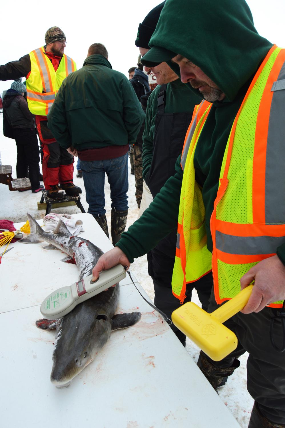 Michigan DNR fisheries biologist Tim Cwalinski scans one of the sturgeon taken during the 2019 Black Lake season to see if it previously had been tagged.