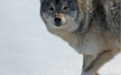 M183: What One Wolf Can Reveal About the Population as a Whole