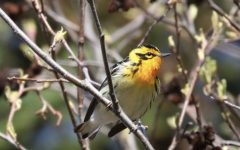 Catching a bird on camera is no easy feat. This Blackburnian warbler posed between flights.