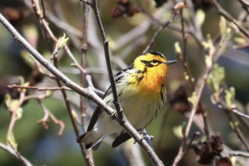 Catching+a+bird+on+camera+is+no+easy+feat.+This+Blackburnian+warbler+posed+between+flights.+