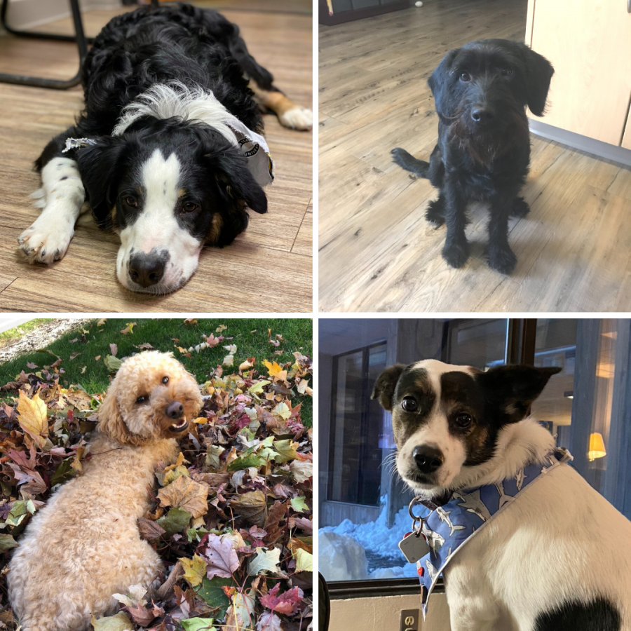 You may recognize these familiar furry faces from their time spent on-campus, as the canine companions of some of Michigan Tech's Residence Education Coordinators! Pictured clockwise, starting from top left: Jack, Porter, Yuppsie and Rory.