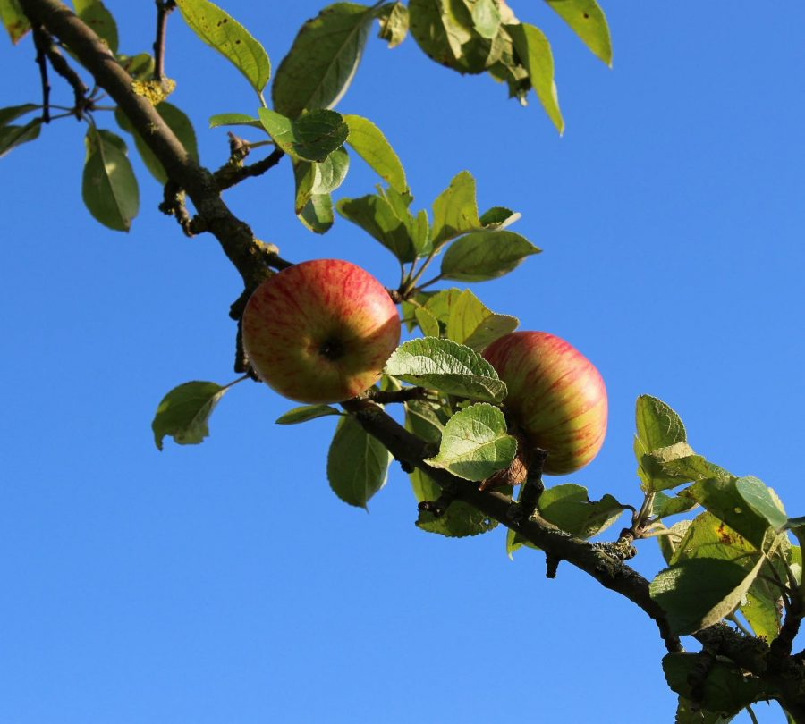 The Keweenaw Youth for Climate Action group is calling for community members to become caretakers to a variety of fruit trees they are planting publicly throughout Houghton and Hancock.